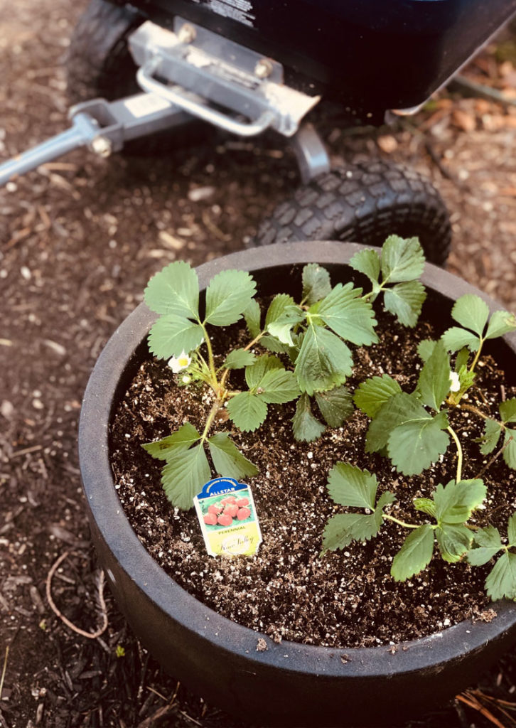 Strawberry plants in a pot