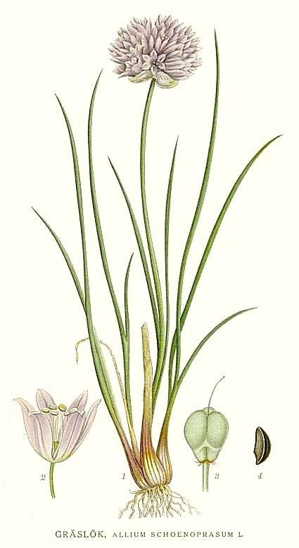 Chives botanical print